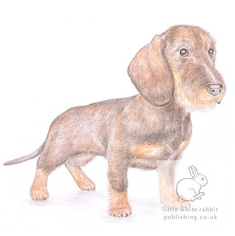 Wire-haired dachshund card gift